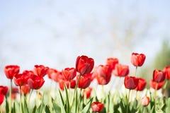 Bello mazzo dei tulipani Tulipani variopinti Tulipani in primavera Immagine Stock Libera da Diritti