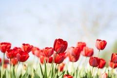 Bello mazzo dei tulipani Tulipani variopinti Tulipani in primavera Fotografia Stock