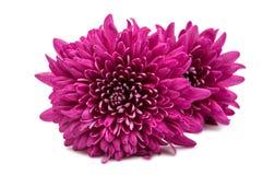 Bello mazzo del crisantemo dei fiori rossi Fotografia Stock Libera da Diritti