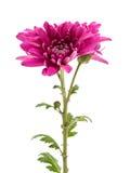Bello mazzo del crisantemo dei fiori rossi Immagine Stock