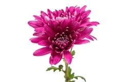 Bello mazzo del crisantemo dei fiori rossi Immagine Stock Libera da Diritti