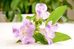 Bello mazzo del fiore bianco e rosa di alstroemeria su tela Immagini Stock Libere da Diritti