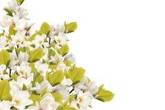 Bello mazzo del fiore della magnolia su fondo bianco immagine stock