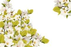 Bello mazzo del fiore della magnolia su fondo bianco fotografie stock libere da diritti
