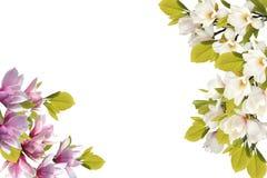 Bello mazzo del fiore della magnolia su fondo bianco fotografia stock libera da diritti