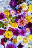 Bello mazzo del primo piano dei crisantemi Fotografie Stock Libere da Diritti