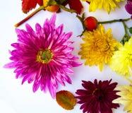 Bello mazzo del primo piano dei crisantemi Fotografia Stock Libera da Diritti