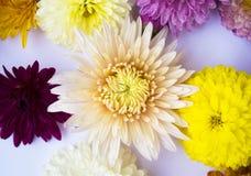 Bello mazzo del primo piano dei crisantemi Immagini Stock Libere da Diritti