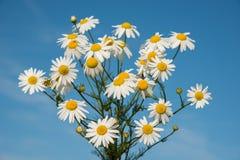 Bello mazzo delle margherite contro un cielo blu di estate fotografia stock