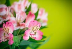 Bello mazzo di alstroemeria dei fiori Immagini Stock Libere da Diritti