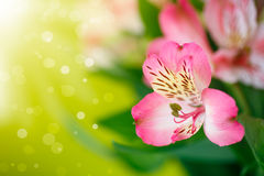 Bello mazzo di alstroemeria dei fiori Immagine Stock