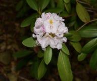Bello mazzo di fiori bianco del rododendro con le foglie verdi Immagine Stock