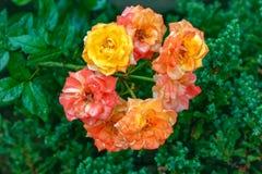Bello mazzo di rose gialle e rosa, punto di vista simmetrico delle rose del mazzo immagine stock libera da diritti