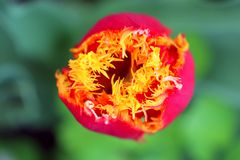 Bello mazzo fondo della natura dei tulipani di bello fotografie stock libere da diritti