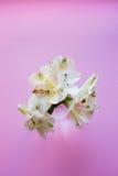 Bello mazzo tenero di Alstroemeria su fondo rosa Fotografia Stock
