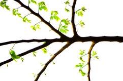 Bello modello dei ramoscelli con i germogli verdi delle foglie della molla isolati su fondo bianco Fotografia Stock Libera da Diritti