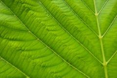 Bello modello verde di struttura della foglia Fotografia Stock