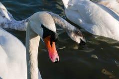 Bello nuoto bianco del cigno un giorno soleggiato Immagine Stock