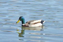 Bello nuoto dell'anatra di colore fotografie stock libere da diritti