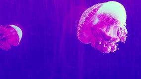 Bello nuoto delle meduse in un acquario archivi video