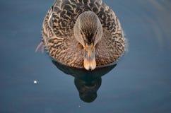 Bello nuoto femminile dell'anatra del germano reale in acqua di mare fredda del porto Fotografia Stock