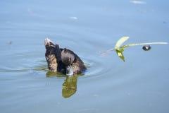 Bello nuoto femminile della moretta sullo stagno in parco Immagini Stock Libere da Diritti