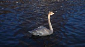 Bello nuoto grigio del cigno nel lago Il tuffo dell'animale selvatico, l'acqua della bevanda, mangia il cereale 4k stock footage