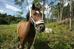 Bello nuovo ritratto del cavallino della foresta Fotografia Stock