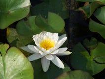 Bello nymphea bianco con le foglie Fotografia Stock