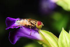 Bello occhio macchiato Syrphidae Fotografie Stock
