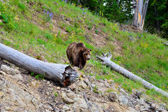 Bello orso grigio di Brown Immagine Stock