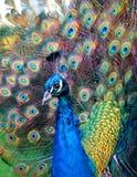 Bello P preening colourful Fotografie Stock Libere da Diritti
