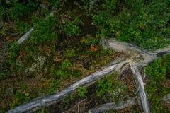 Bello paesaggio alpino selvaggio della montagna con muschio sulla radice dell'albero Fotografia Stock