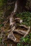 Bello paesaggio alpino selvaggio della montagna con muschio sulla radice dell'albero Fotografie Stock
