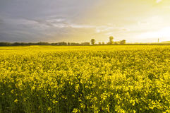 Bello paesaggio - colza il campo durante il tramonto Fotografia Stock