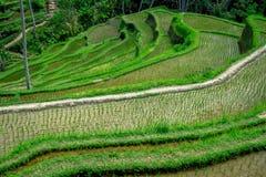 Bello paesaggio con i terrazzi verdi del riso vicino al villaggio di Tegallalang, Ubud, Bali, Indonesia Fotografie Stock Libere da Diritti