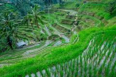 Bello paesaggio con i terrazzi verdi del riso vicino al villaggio di Tegallalang, Ubud, Bali, Indonesia Fotografia Stock