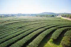 Bello paesaggio con la piantagione di tè Fotografie Stock