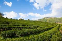 Bello paesaggio con la piantagione di tè Immagine Stock Libera da Diritti