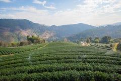 Bello paesaggio con la piantagione di tè Fotografia Stock Libera da Diritti
