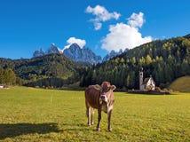 Bello paesaggio con una mucca nella valle di Santa Magdalena, Fotografia Stock Libera da Diritti