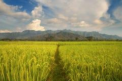 Bello paesaggio del giacimento del riso Immagini Stock Libere da Diritti