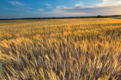 Bello paesaggio del tramonto sopra il campo di grano ad estate Immagini Stock