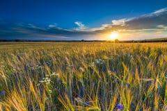 Bello paesaggio del tramonto sopra il campo di grano ad estate Immagine Stock Libera da Diritti