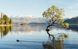 Bello paesaggio dell'albero di Wanaka in Nuova Zelanda fotografie stock libere da diritti
