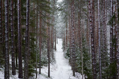Bello paesaggio della foresta un giorno di inverno freddo con il coni Immagine Stock Libera da Diritti