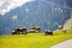 Bello paesaggio della molla nelle alpi della Svizzera con i campi del da Fotografia Stock Libera da Diritti