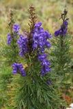 Bello paesaggio della montagna, con il fiore viola nella parte anteriore, la Svizzera Immagini Stock Libere da Diritti