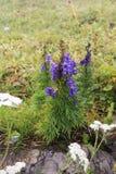 Bello paesaggio della montagna, con il fiore viola nella parte anteriore, la Svizzera Fotografie Stock Libere da Diritti