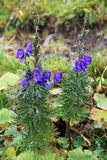 Bello paesaggio della montagna, con il fiore viola nella parte anteriore, la Svizzera Immagini Stock